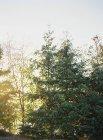 Сосновые деревья, растущие в сельской местности — стоковое фото