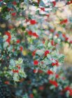 Berries growing on bush — Stock Photo
