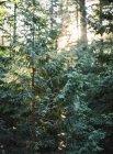 Ліси з сосни — стокове фото
