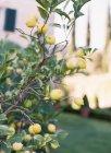 Limões, crescendo na árvore — Fotografia de Stock