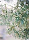 Ветви оливкового дерева — стоковое фото