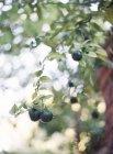 Aceitunas negras en árbol - foto de stock