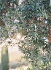 Оливковое дерево, растущее в саду — стоковое фото