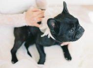 Braut tätschelte süße Bulldogge — Stockfoto