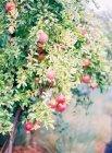 Pomegranates growing on tree — Stock Photo