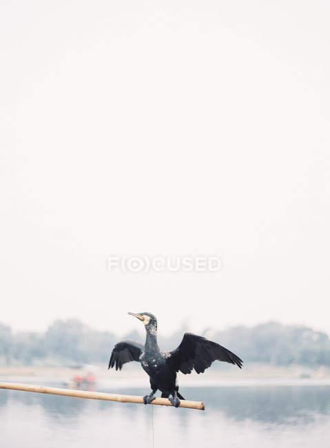 Uccello del Cormorant diffondere le sue ali — Foto stock