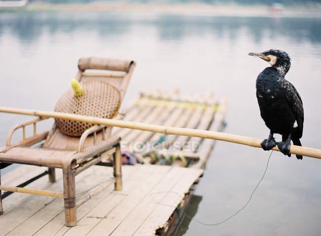 Cormorano uccello appollaiato su bambù — Foto stock