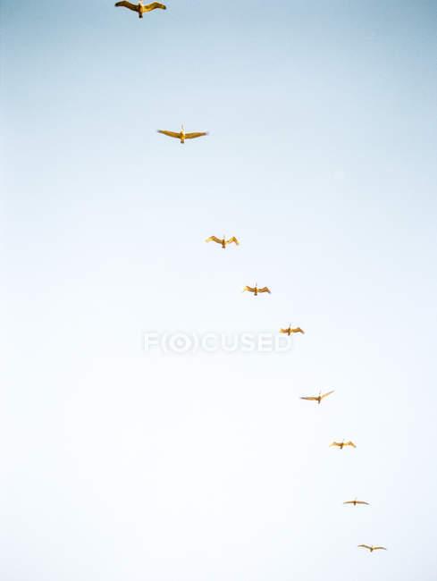 Gabbiani che volano in formazione di linea — Foto stock