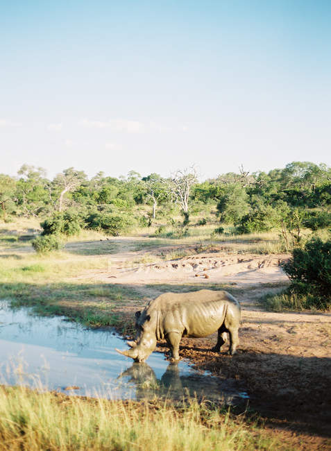 Rhinoceros drinking water — Stock Photo