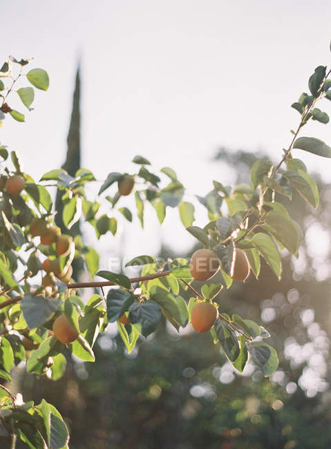 Lemons growing on tree — Stock Photo