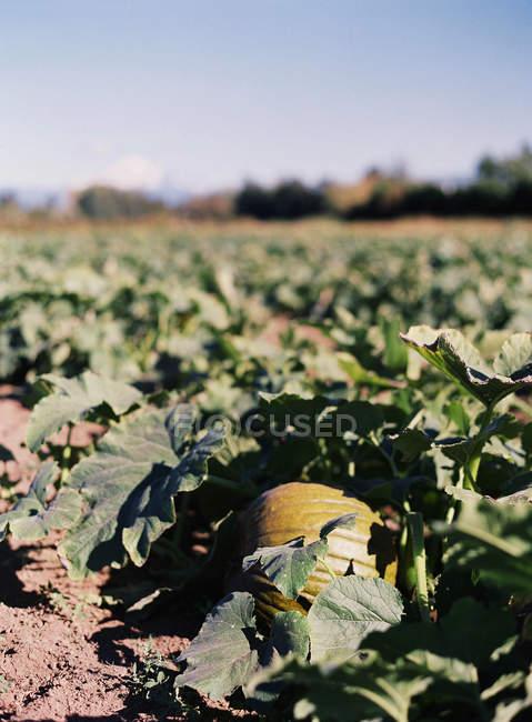 Abóbora, crescendo na planta — Fotografia de Stock