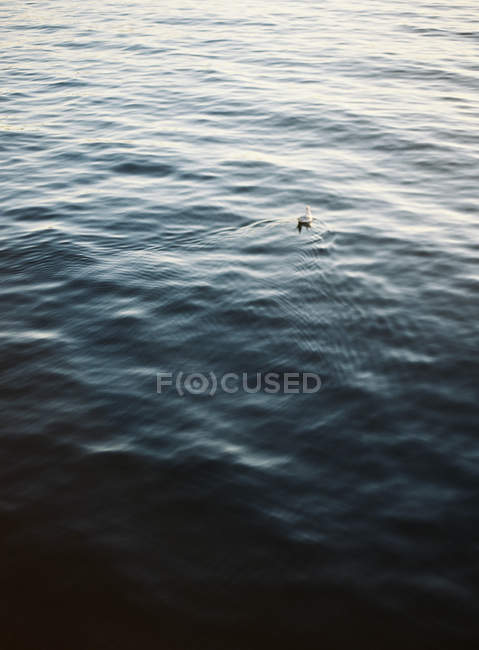 Seagull floating in sea — Stock Photo