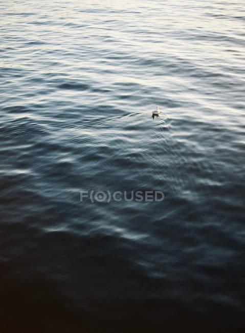 Чайка, які плавають у море — стокове фото