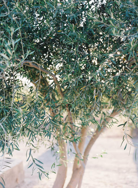 Olive tree growing in garden — Stock Photo