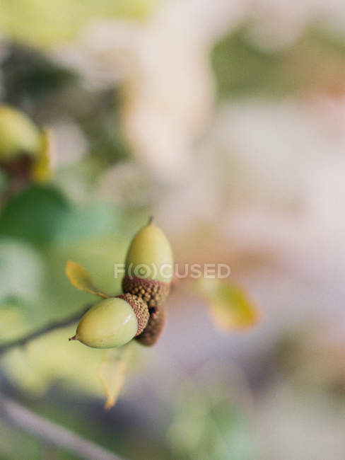 Зеленые желуди на ветке — стоковое фото