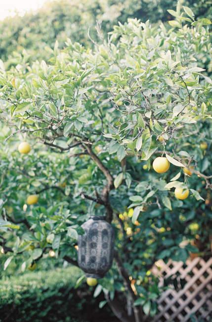 Albero di limone con limoni — Foto stock