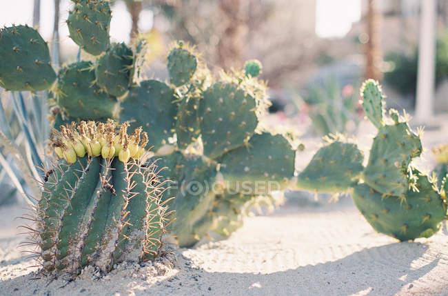 Cactus à fleurs qui poussent dans le jardin — Photo de stock