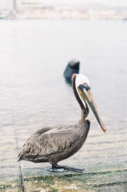 Pelican standing on pierce at daytime — Stock Photo