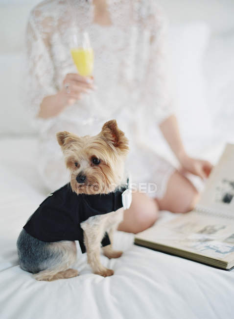 Terrier in dog suit sitting on bed — Stock Photo