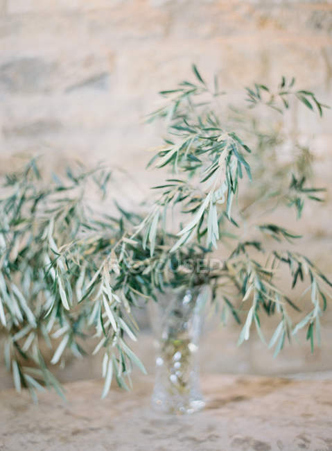 Olive tree branches — Stock Photo