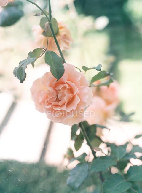 Розы растущие на растении — стоковое фото