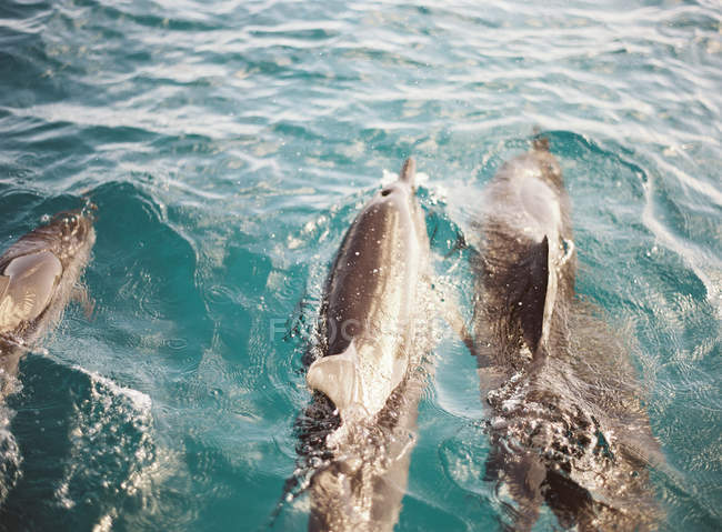 Bottlenose dolphins swimming in ocean — Stock Photo