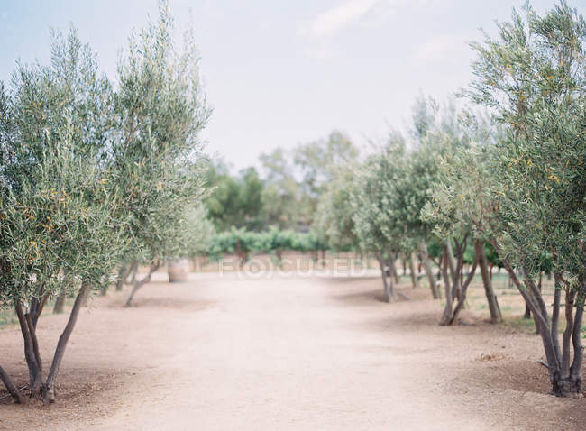 Vineyards and olive trees growing in field — Stock Photo