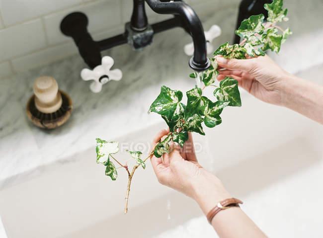 Woman washing ivy branch — Stock Photo