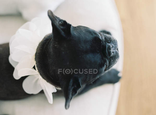 Cute black french bulldog — Stock Photo