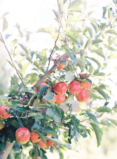 Яблука, ростуть на дереві — стокове фото