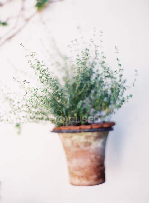 Pianta in vaso verde — Foto stock