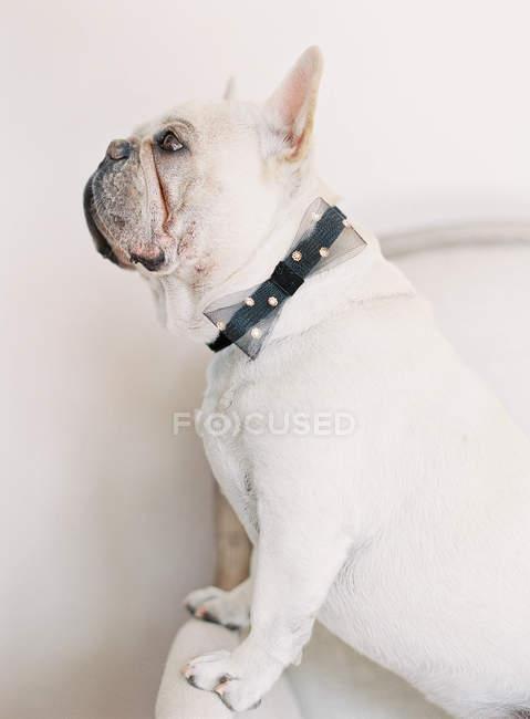Белый французский бульдог с черным луком — стоковое фото