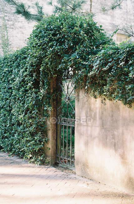 Металеві ворота в кам'яною стіною з лози Плющ — стокове фото