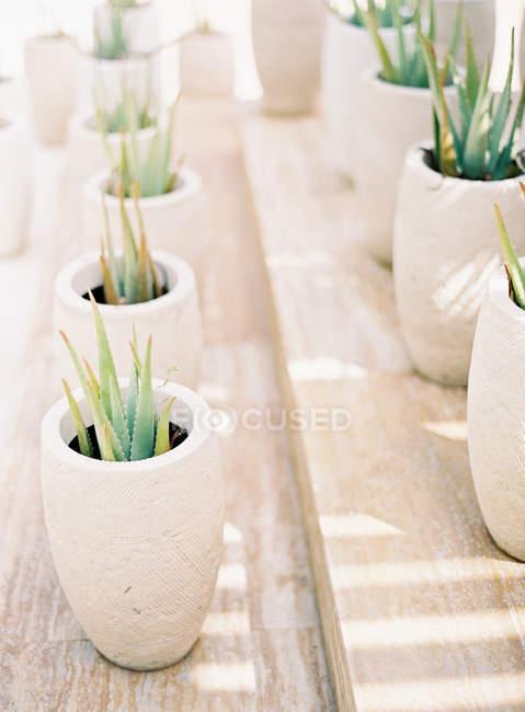 Кактус растения в горшках — стоковое фото