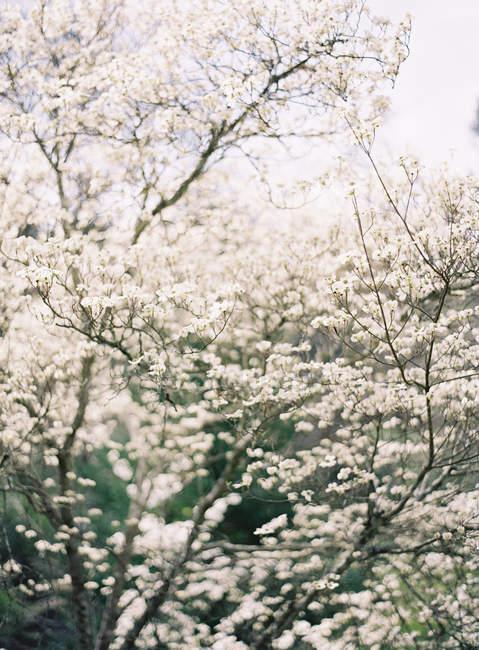 Фруктові дерева вишні — стокове фото
