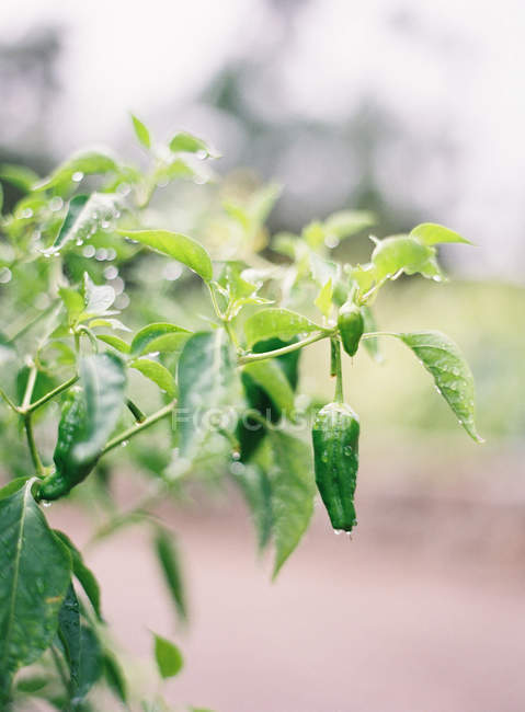 Green pepper plant with fruits — Stock Photo