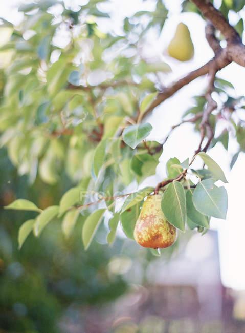 Pears growing on tree — Stock Photo