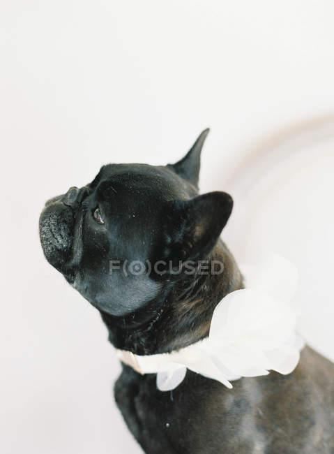 Cute black french bulldog — Stock Photo