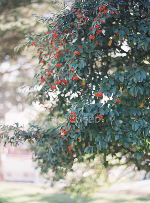 Cranberries growing on tree — Stock Photo