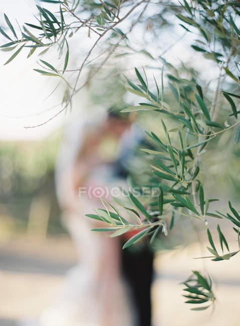 Зеленая оливковая ветвь — стоковое фото