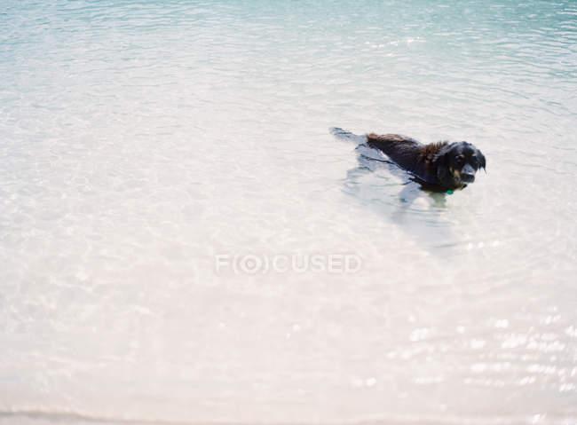 Perro nadando en el lago - foto de stock