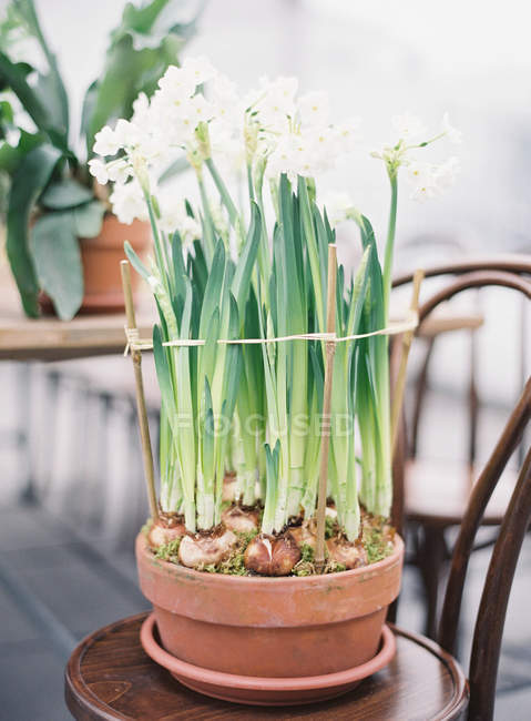 Potted narcissus plants — Stock Photo