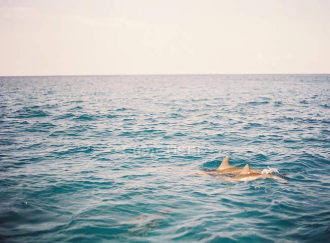 Bottlenose dolphins swimming in ocean — Stock Photo