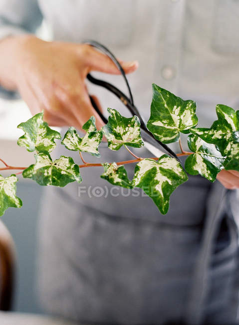 Woman cutting ivy branch — Stock Photo
