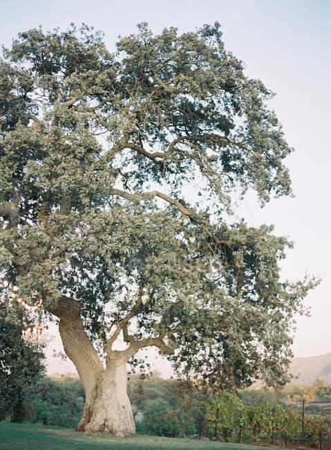 Старый дуб со стороны холма — стоковое фото