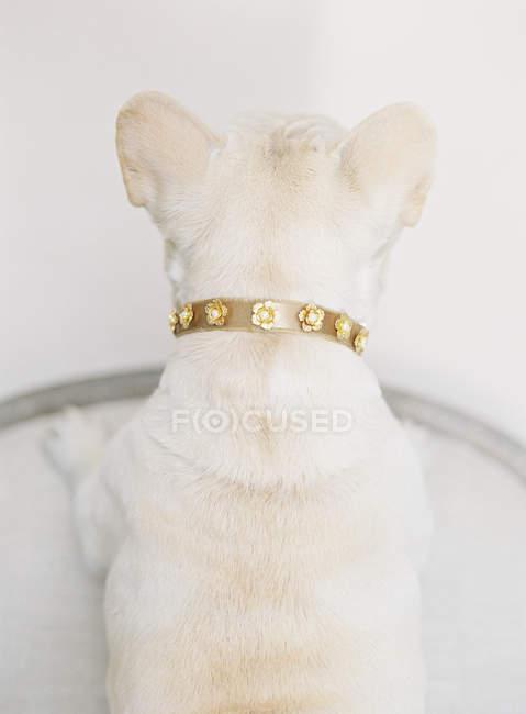 White french bulldog standing — Stock Photo
