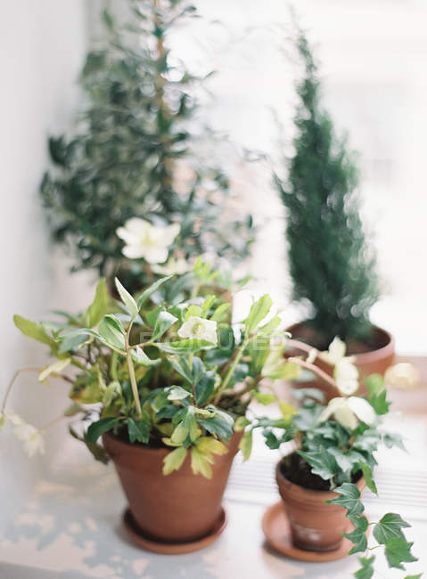 Green plants in pots — Stock Photo