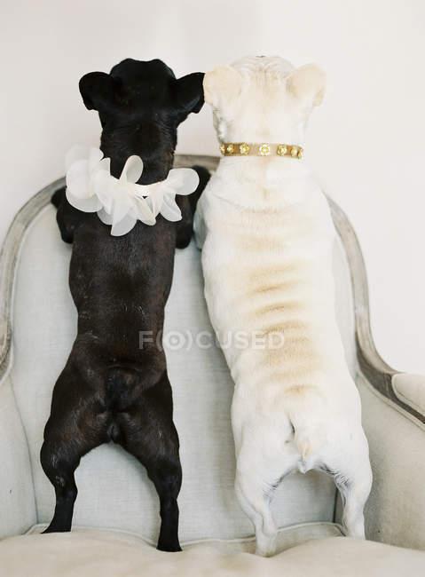 Симпатичные черно-белые французские бульдоги — стоковое фото