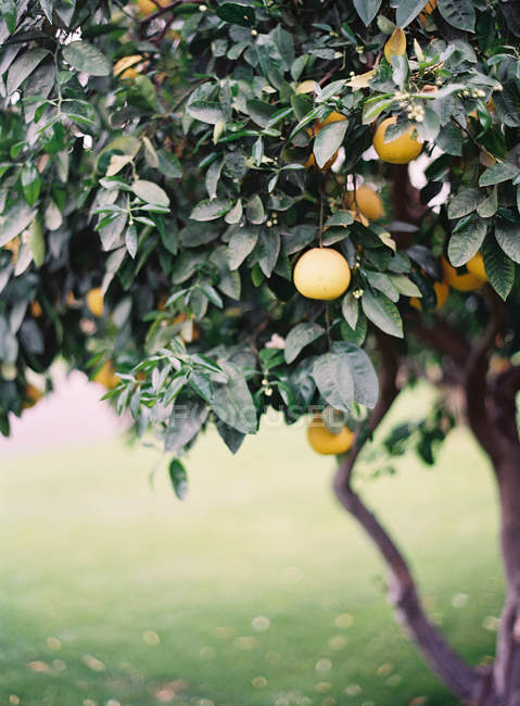 Апельсины растут на дереве — стоковое фото