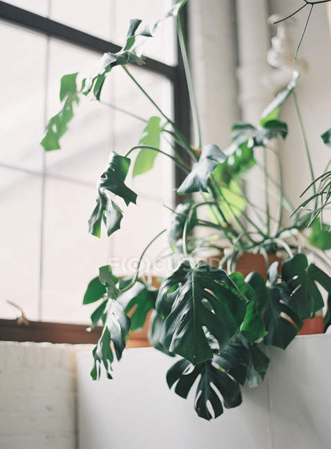 Potted monstera plant on windowsill — Stock Photo